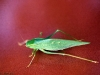 katydid-2_resized