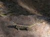 lizard_resized